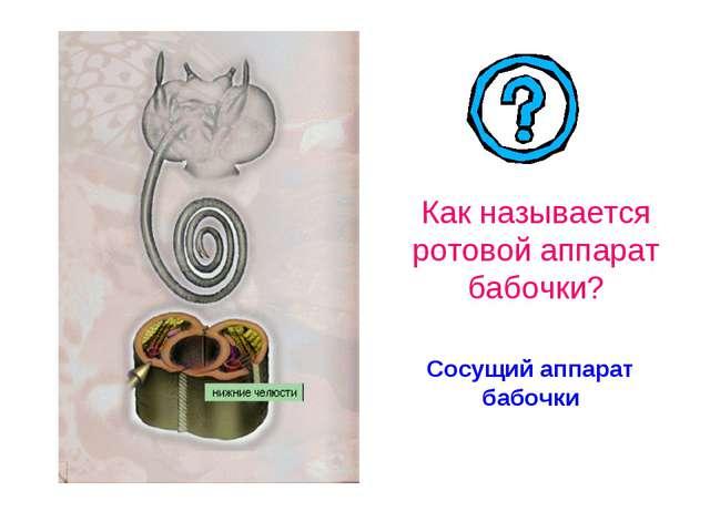 Сосущий аппарат бабочки Как называется ротовой аппарат бабочки?