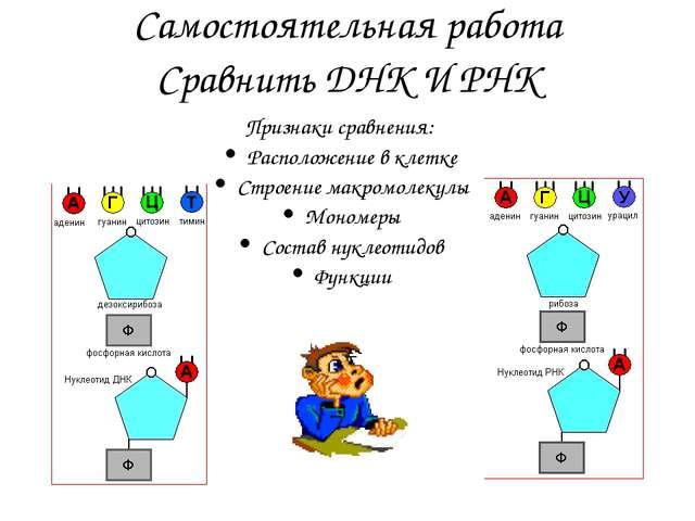 Самостоятельная работа Сравнить ДНК И РНК Признаки сравнения: Расположение в...