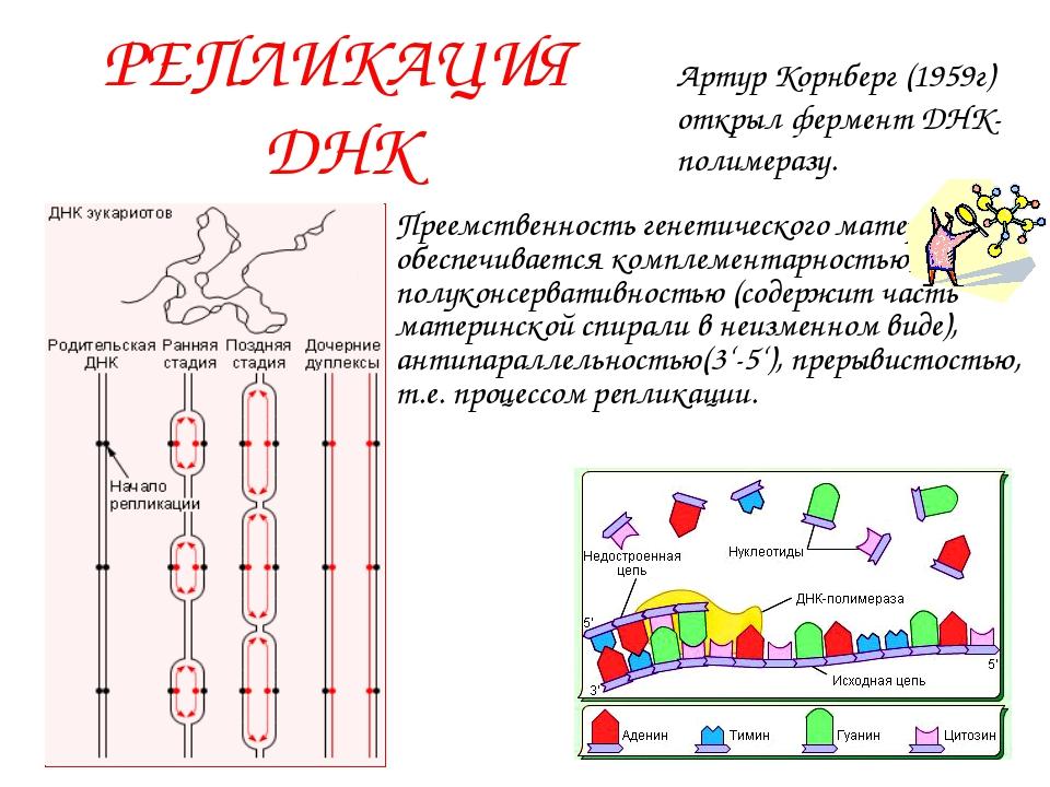 РЕПЛИКАЦИЯ ДНК Преемственность генетического материала обеспечивается комплем...