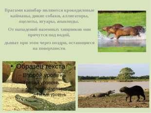 Врагами капибар являются крокодиловые кайманы, дикие собаки, аллигаторы, оцел