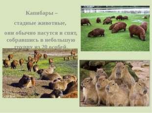 Капибары – стадные животные, они обычно пасутся и спят, собравшись в неболь