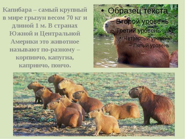 Капибара – самый крупный в мире грызун весом 70 кг и длиной 1 м. В странах Юж...