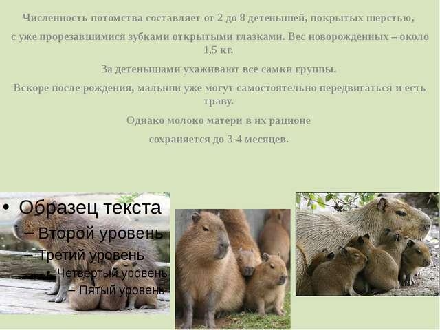 Численность потомства составляет от 2 до 8 детенышей, покрытых шерстью, с уже...