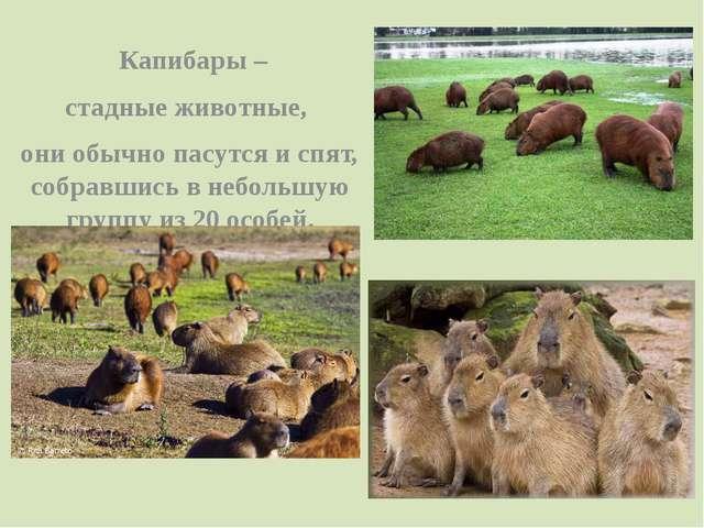 Капибары – стадные животные, они обычно пасутся и спят, собравшись в неболь...