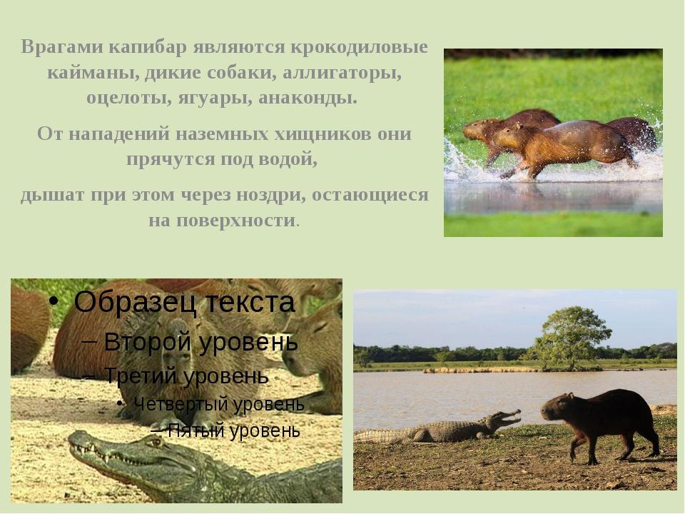 Врагами капибар являются крокодиловые кайманы, дикие собаки, аллигаторы, оцел...