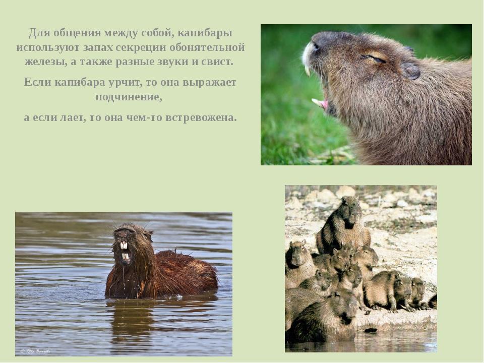 Для общения между собой, капибары используют запах секреции обонятельной желе...