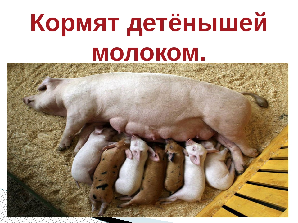Кормят детёнышей молоком.