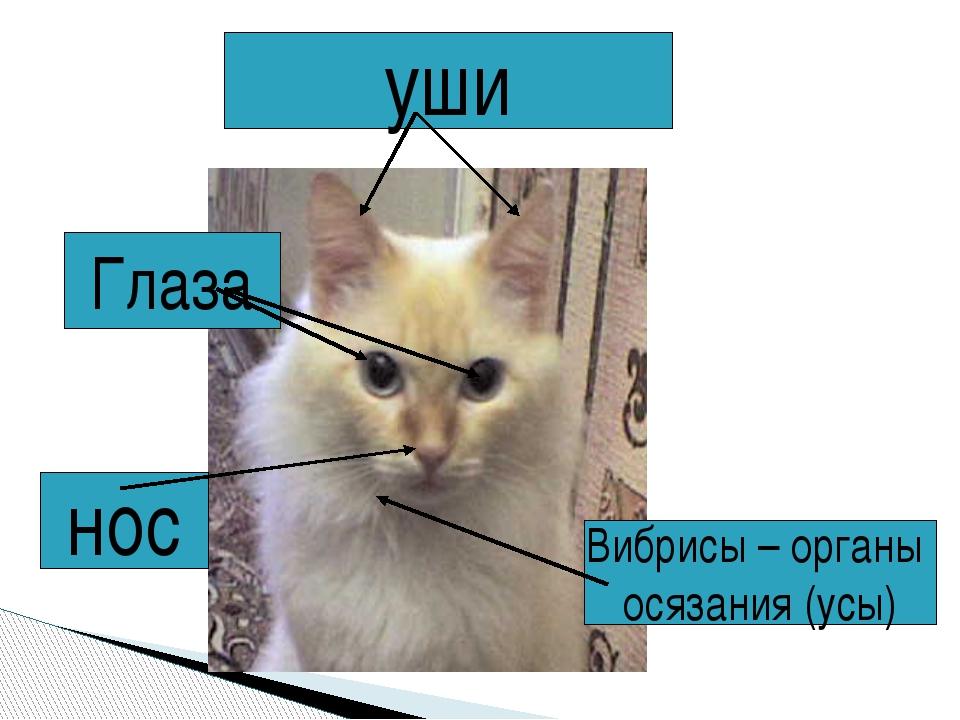 уши Глаза Вибрисы – органы осязания (усы) нос