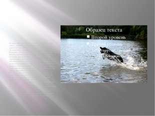 Из донесения штаба Ленинградского фронта: «6 собак связи… заменили 10 человек