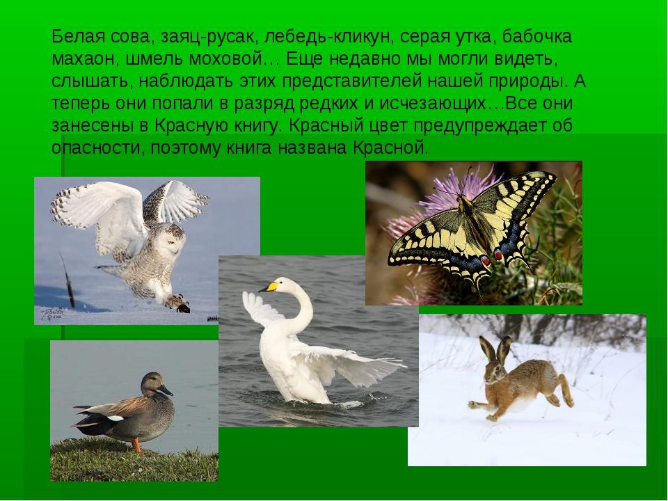 Белая сова, заяц-русак, лебедь-кликун, серая утка, бабочка махаон, шмель мохо...
