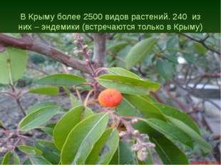 В Крыму более 2500 видов растений. 240 из них – эндемики (встречаются только