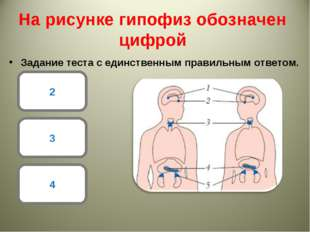 На рисунке гипофиз обозначен цифрой Задание теста с единственным правильным о