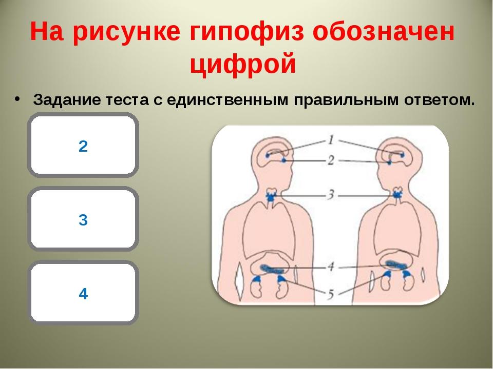 На рисунке гипофиз обозначен цифрой Задание теста с единственным правильным о...