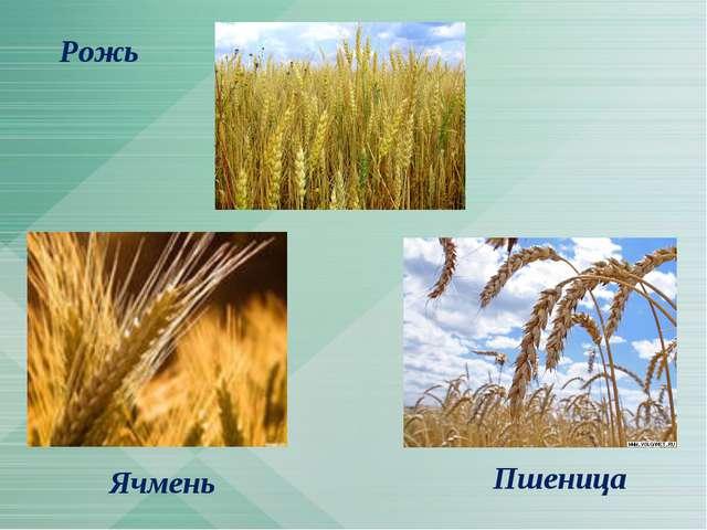 Пшеница Рожь Ячмень