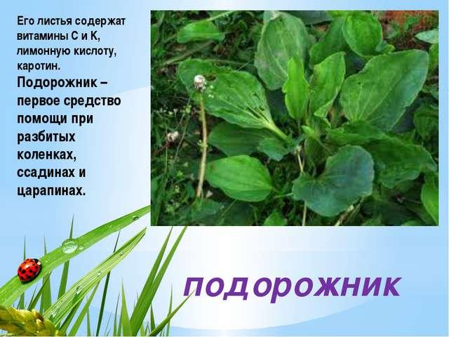 подорожник Его листья содержат витамины C и K, лимонную кислоту, каротин. По...