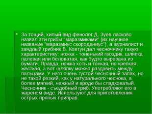 """За тощий, хилый вид фенолог Д. Зуев ласково назвал эти грибы """"маразмиками"""" (и"""