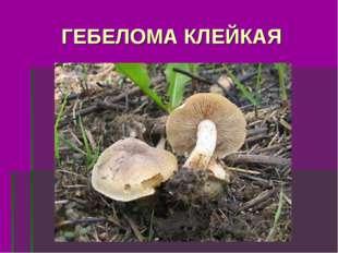 ГЕБЕЛОМА КЛЕЙКАЯ