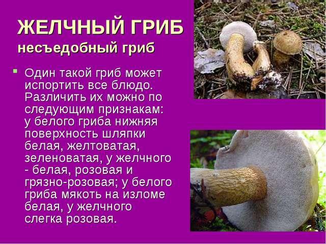 ЖЕЛЧНЫЙ ГРИБ несъедобный гриб Один такой гриб может испортить все блюдо. Разл...