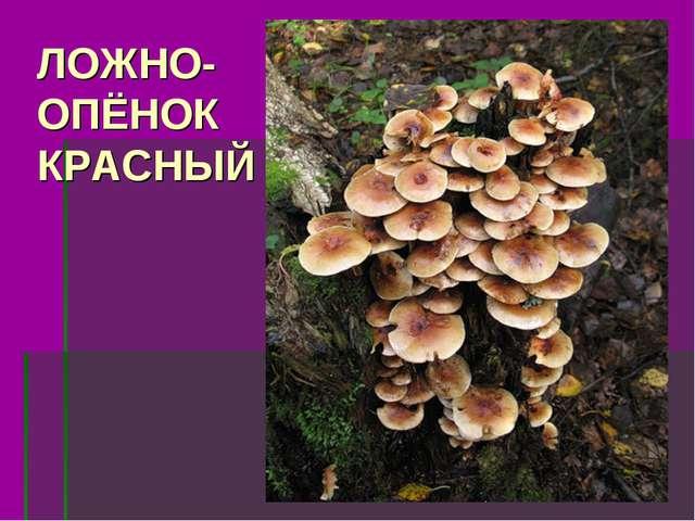 ЛОЖНО- ОПЁНОК КРАСНЫЙ