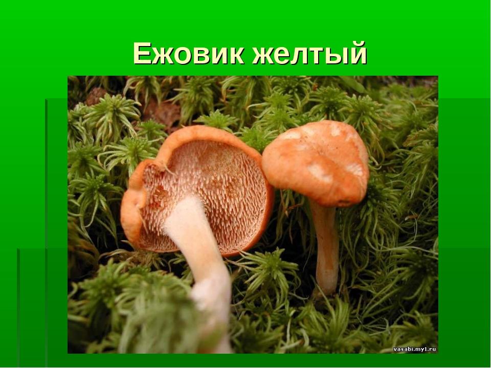 Ежовик желтый