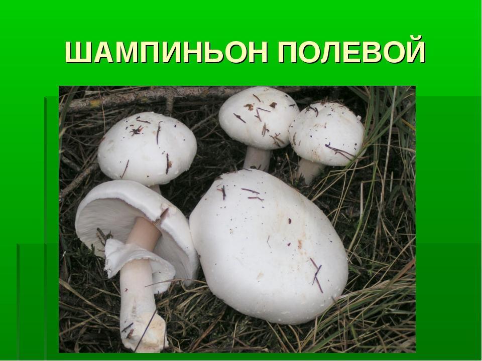 ШАМПИНЬОН ПОЛЕВОЙ