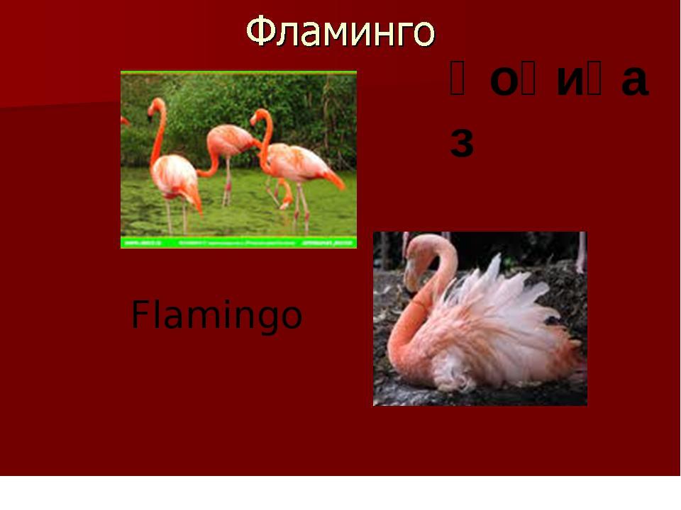 Қоқиқаз Flamingo