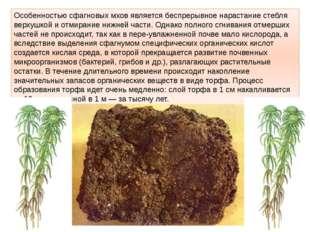 Особенностью сфагновых мхов является беспрерывное нарастание стебля верхушкой