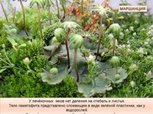 МАРШАНЦИЯ У печёночных мхов нет деления на стебель и листья. Тело гаметофита