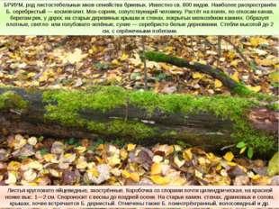 БРИУМ, род листостебельных мхов семейства бриевых. Известно св. 800 видов. На