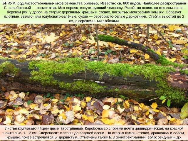 БРИУМ, род листостебельных мхов семейства бриевых. Известно св. 800 видов. На...