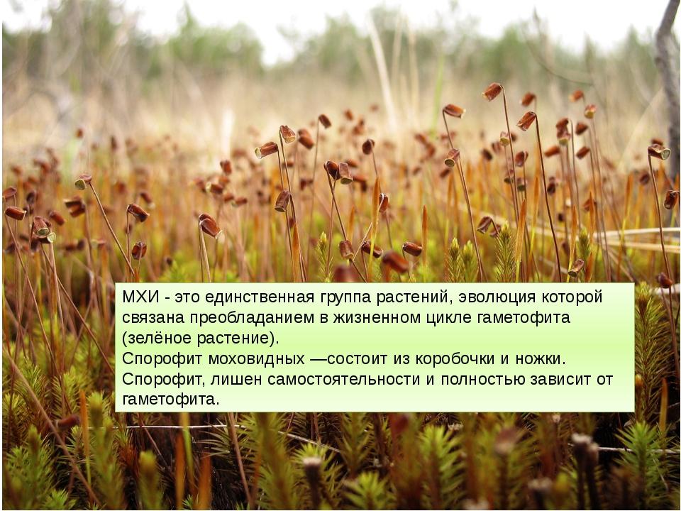 МХИ - это единственная группа растений, эволюция которой связана преобладание...