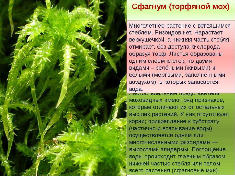 Листостебельные представители моховидных имеют ряд признаков, которые отличаю...