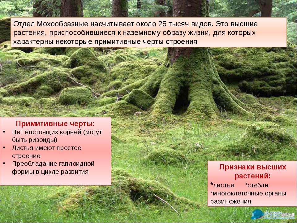 Отдел Мохообразные насчитывает около 25 тысяч видов. Это высшие растения, при...