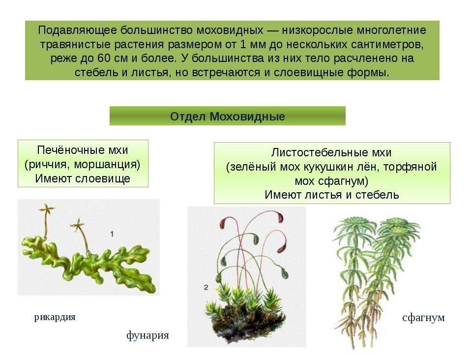Подавляющее большинство моховидных — низкорослые многолетние травянистые раст...