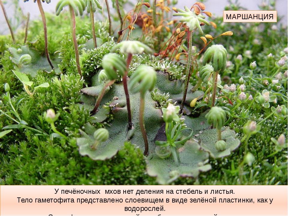 МАРШАНЦИЯ У печёночных мхов нет деления на стебель и листья. Тело гаметофита...