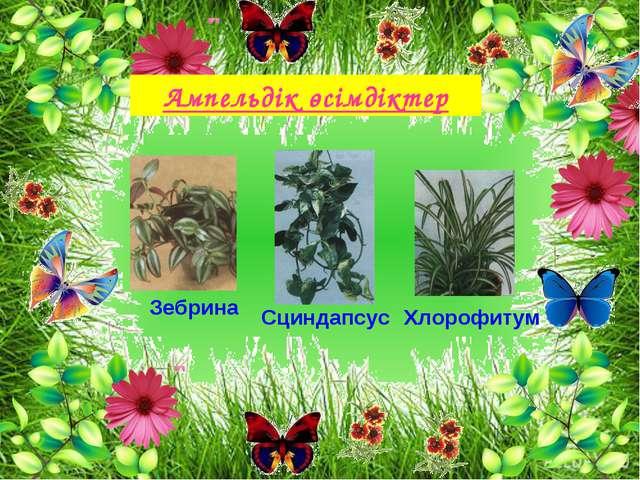 Ампельдік өсімдіктер Зебрина Сциндапсус Хлорофитум
