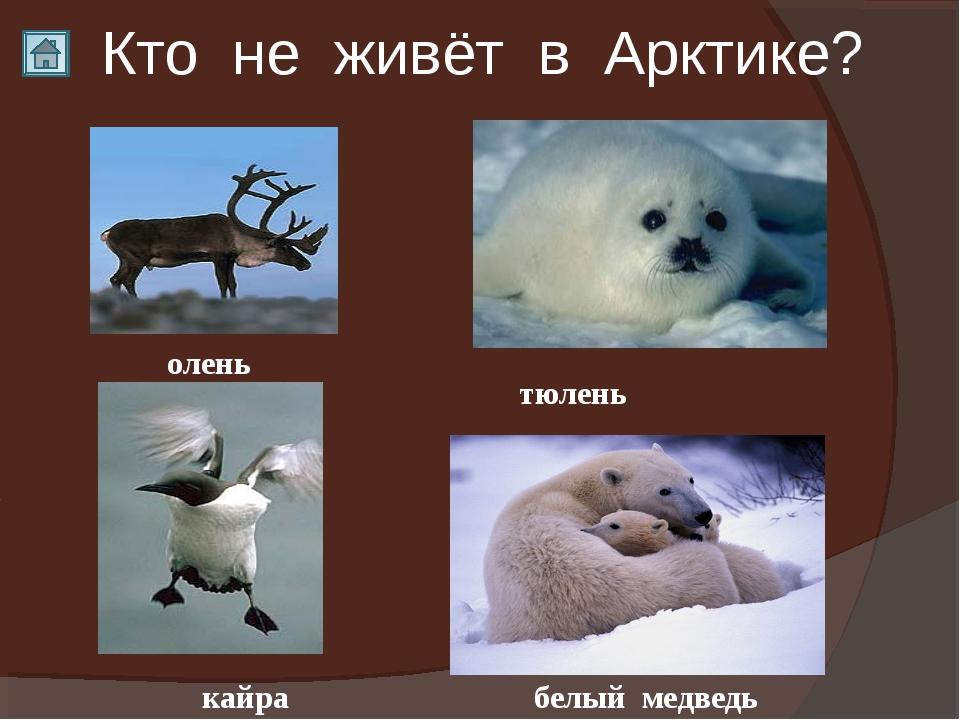 Кто не живёт в Арктике? кайра тюлень белый медведь олень