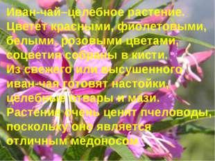 Иван-чай–целебное растение. Цветет красными, фиолетовыми, белыми, розовыми ц