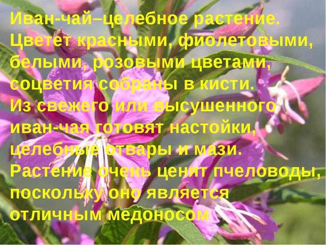 Иван-чай–целебное растение. Цветет красными, фиолетовыми, белыми, розовыми ц...