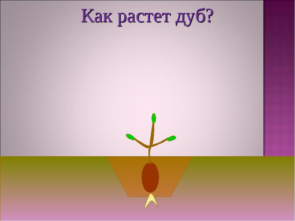 Как растет дуб?