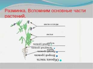 Разминка. Вспомним основные части растений. корень стебель листья цветы и плоды