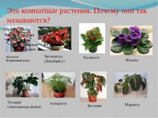 Это комнатные растения. Почему они так называются? Абутилон (Комнатный клён)