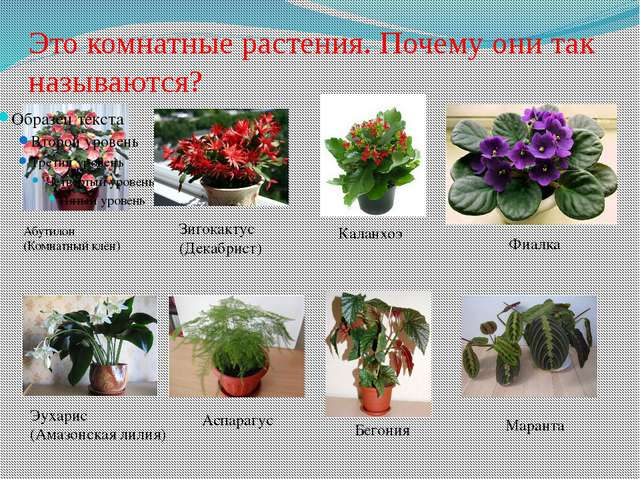 Это комнатные растения. Почему они так называются? Абутилон (Комнатный клён)...