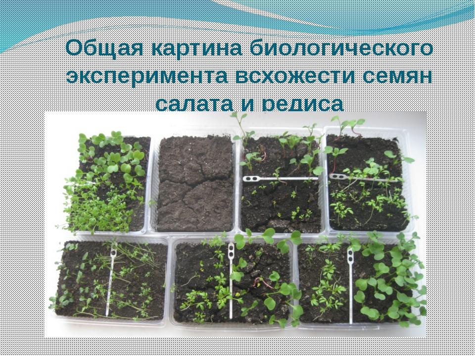 Общая картина биологического эксперимента всхожести семян салата и редиса