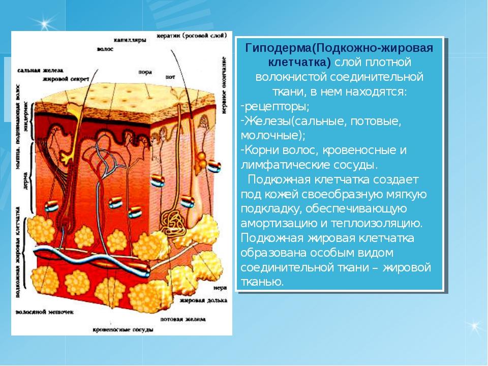 Гиподерма(Подкожно-жировая клетчатка) слой плотной волокнистой соединительной...
