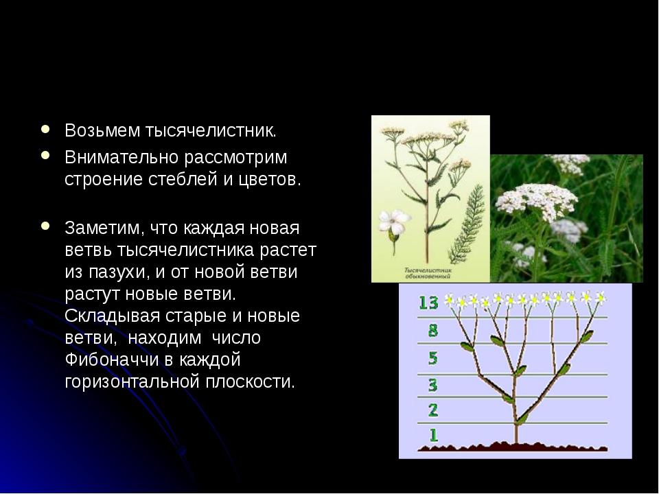 Возьмем тысячелистник. Внимательно рассмотрим строение стеблей и цветов. Заме...