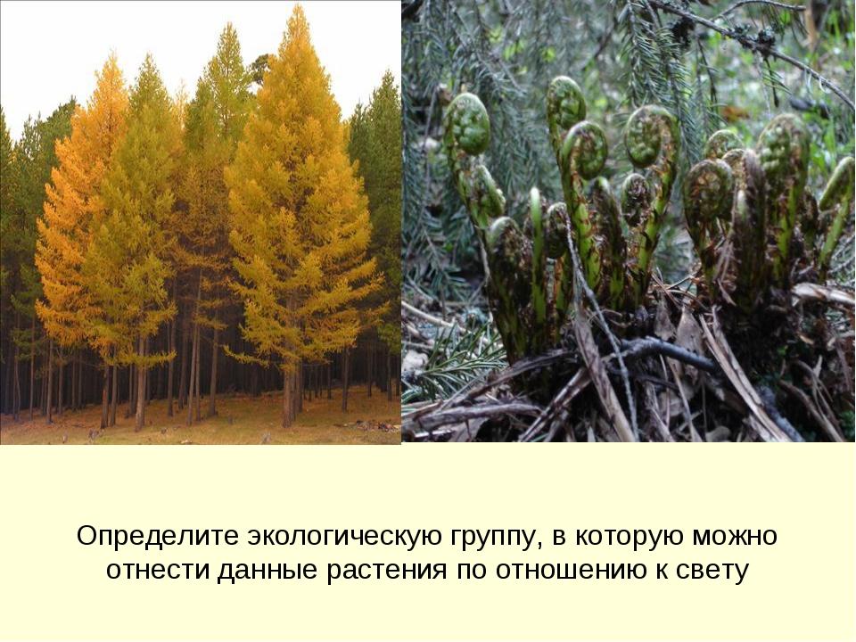 Определите экологическую группу, в которую можно отнести данные растения по о...