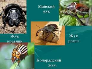Майский жук Колорадский жук Жук рогач Жук кравчик