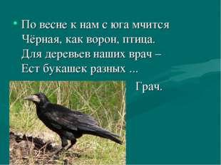 По весне к нам с юга мчится Чёрная, как ворон, птица. Для деревьев наших врач