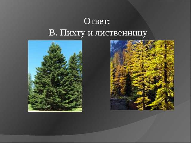Ответ: B. Пихту и лиственницу